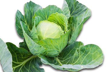 Head cabbage
