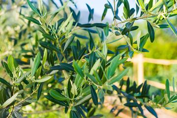 Albero di olivo, ulivo, Olea europaea, foglie chioma e tronco