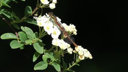 dragonfly sitting on white Spiraea