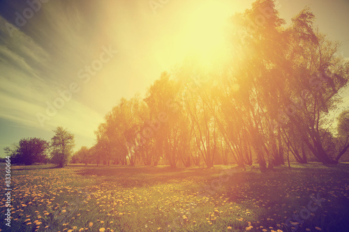 Vintage nature. Spring sunny park, trees and dandelions