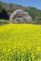 一本桜と菜の花畑