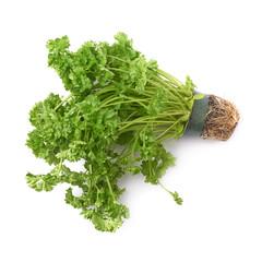 Petroselinum crispum parsley plant isolated