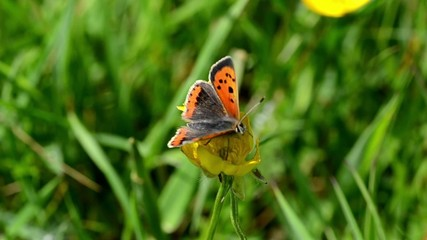 Small Butterfly on a Buttercup
