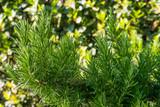 Piante di Rosmarino, Rosmarinus officinalis, foglie, agricoltura