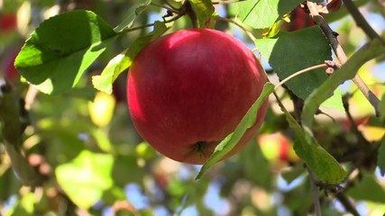 Human hand is picking an apple from apple tree