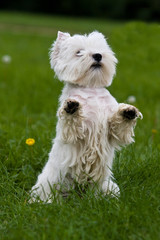 Terrier puppy standing on hind legs on a green grass