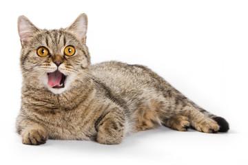 British cat licks his lips and looking at the camera (isolated o