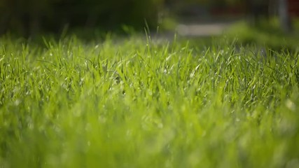 focus pull through fresh grass on the lawn in the courtyard with
