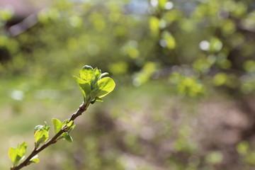 Buds opening - Springtime background inspiring euphoria.