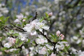 Crab apple blooms - Springtime background inspiring euphoria.