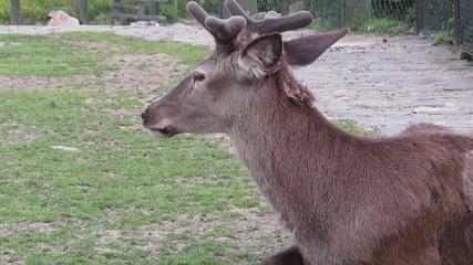 geyik