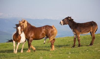Due cavalli in amore ed un asino