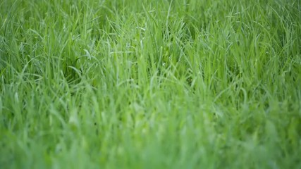 focus pull through fresh spring grass on the lawn in the