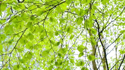 Fresh, bright birch tree leaves blowing in the wind, footage