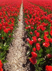 Tulip culture, Holland