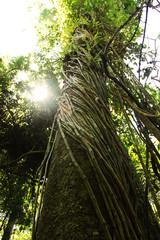 Amazon liana tree