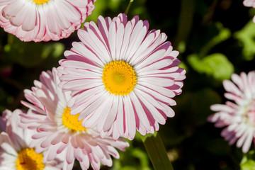 closeup bright pink summer flower