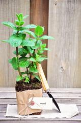 Herb garden. Mint and shovel.