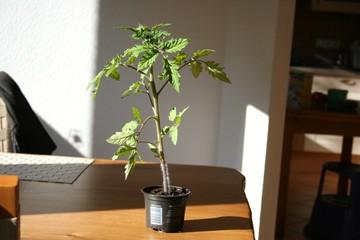 Kleine Tomaten Pflanze im Topf