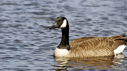 The Canada Goose swimming on calm blue waters