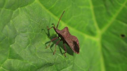 Herbal bug sitting on a green leaf