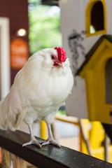 white fat chicken