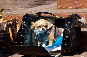 Chihuahua puppy sitting in a bag