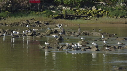 Fraser River, Herons and Seagulls