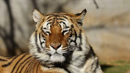 Portrait of a Bengal tiger irritated by flies