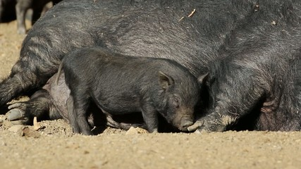 A pot-bellied sow with a cute suckling piglet