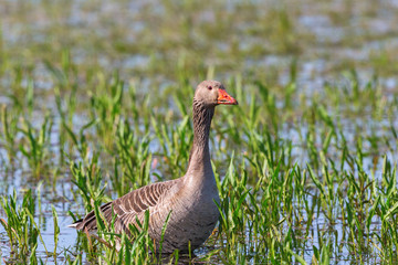 Greylag Goose standing in the water