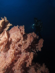 Diver looking at coral