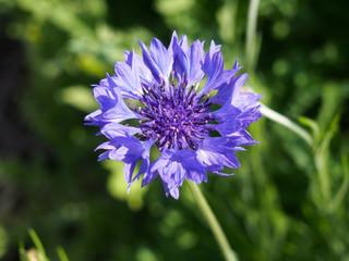 ヤグルマギク (ヤグルマソウ) の花