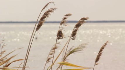 Reed swayed by the wind