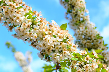 White Blossoms in Abundant Bloom