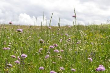 Blumen- und Gräserwiese im Mai