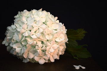White hydrangea on black background