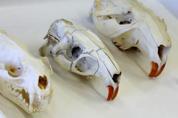 skull animals otter,coypu and beaver