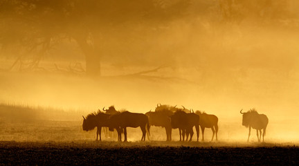 Blue wildebeest in dust at sunrise, Kalahari desert