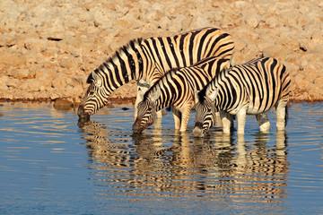Plains Zebras drinking water, Etosha National Park, Namibia