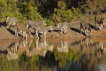 Plains Zebras drinking water, South Africa