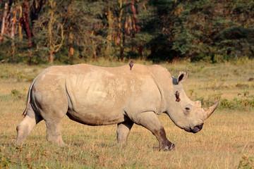 A white rhinoceros, Lake Nakuru National Park, Kenya