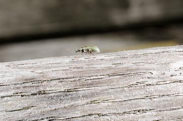 kleiner Wanderer (Grünrüssler auf Holz)