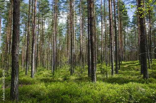 wiosenne-kolory-w-lesie-iglastym