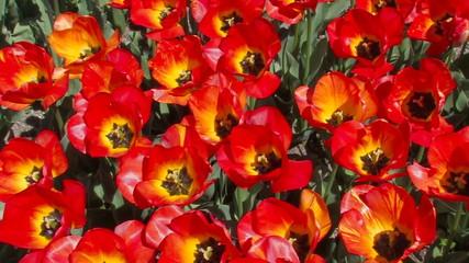 Flowering Red Tulips