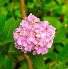 petals of Hydrangea flowers
