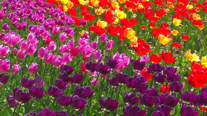 Multicolored Tulips.