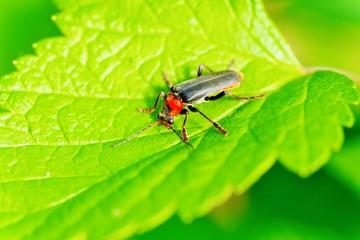 Atalantycha bilineata, Two-Lined Soldier Beetle