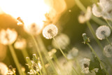 Fototapeta De-focused dandelion background