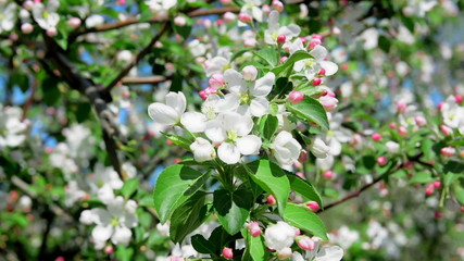 blossoming of an apple-tree white and rozova in the color